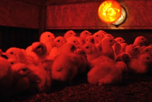 chicks keeping warm under their brooder