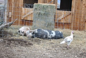 Pigs sleeping in their hay